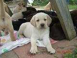 Iowa summer with Labrador puppies