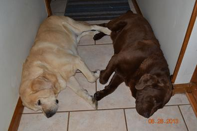 Murphy and Madsen were Formaro Labrador retriever studs.